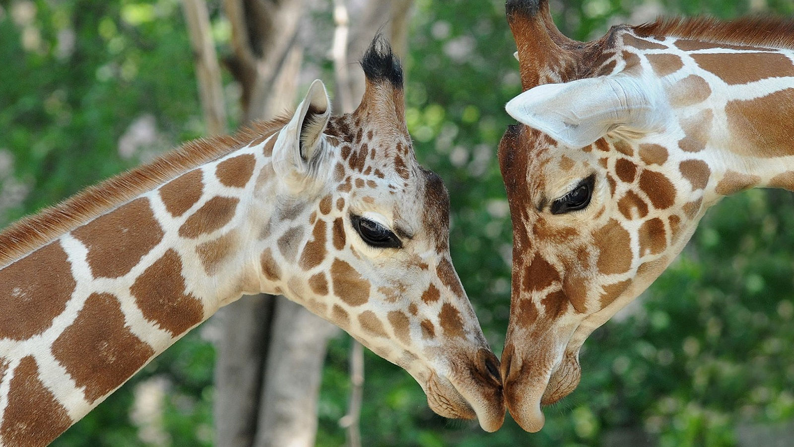 Giraffes at Brookfield Zoo